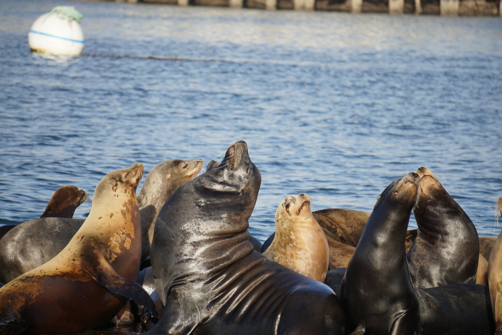 Sea lions in Morro Bay.