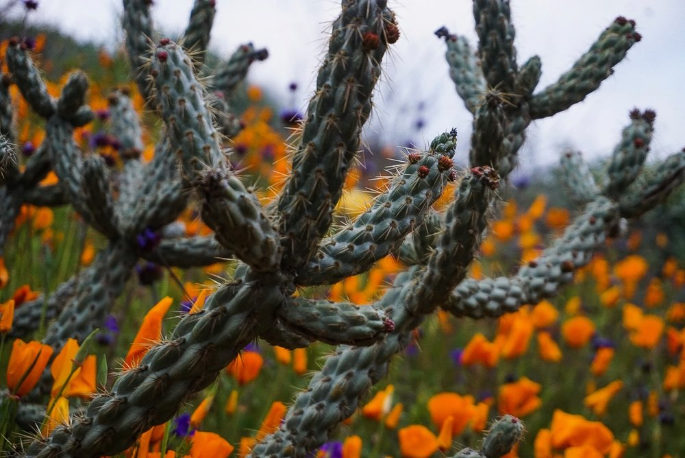 Recently ventured out into Walker Canyon to check out the wildflowers and they were spectacular and in full bloom.