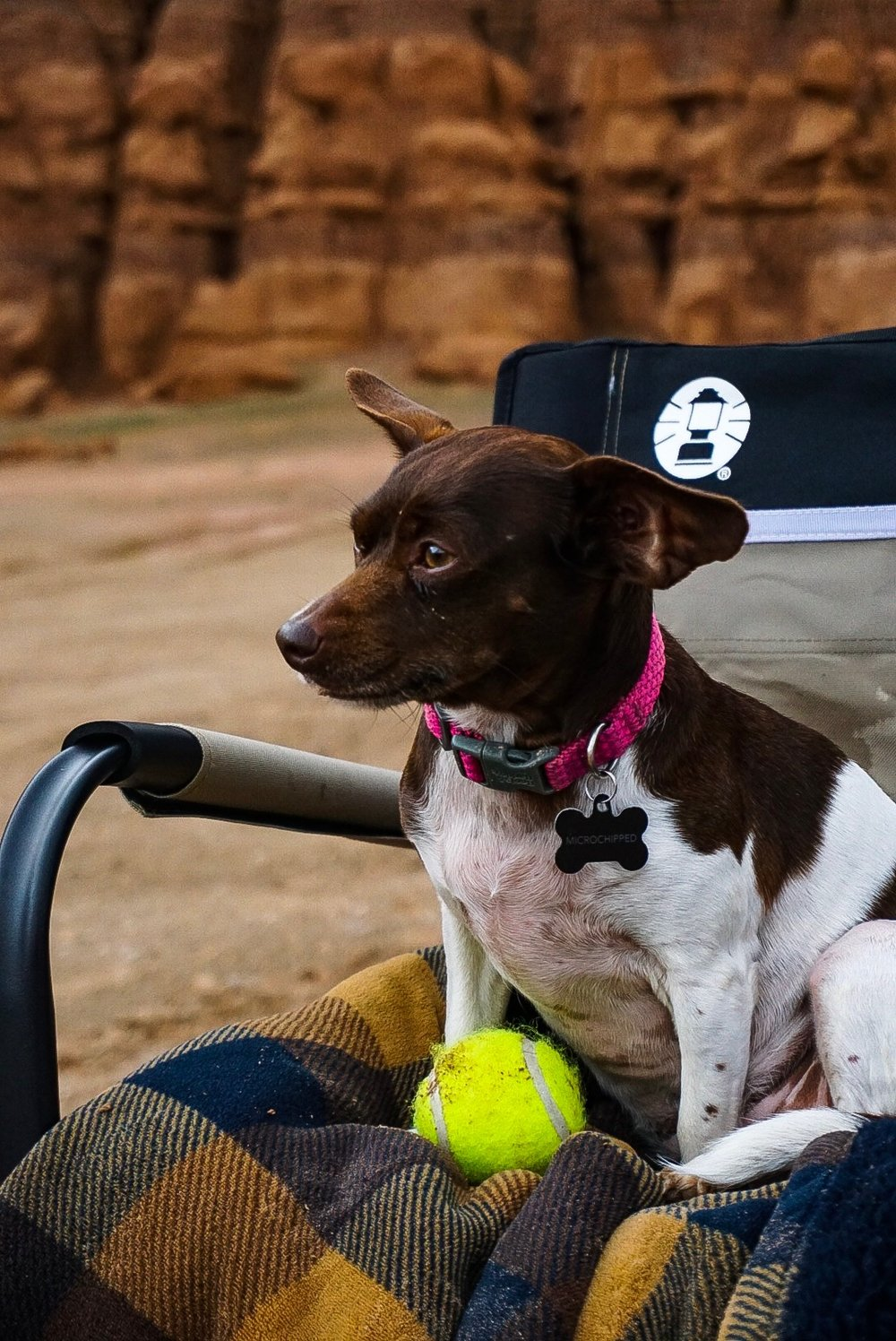 "Moo sitting on ""her"" camp chair with her flannel blanket and tennis ball on BLM land in Utah."
