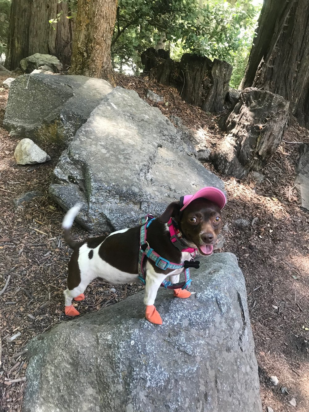 Moo in her Pawz boots and Body Glove UPF sun hat on the way to Cucamonga Peak last 4th of July.