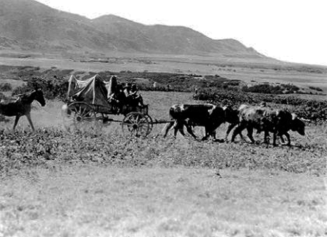 Made July 2_, 1897 near mouth of Emigration Canyon, Salt Lake City, Utah. Two Yokes of Oxen - 1897.   Used by permission, Utah State Historical Society, all rights reserved - Photograph: Salt Lake Tribune.  Two yokes of oxen were used on the trek whenever possible but cattle-poor Mormons made do with fewer draft animals than most emigrants on the Oregon-California-Mormon Trail. This view is another looking generally south from the bench north of Emigration Canyon.