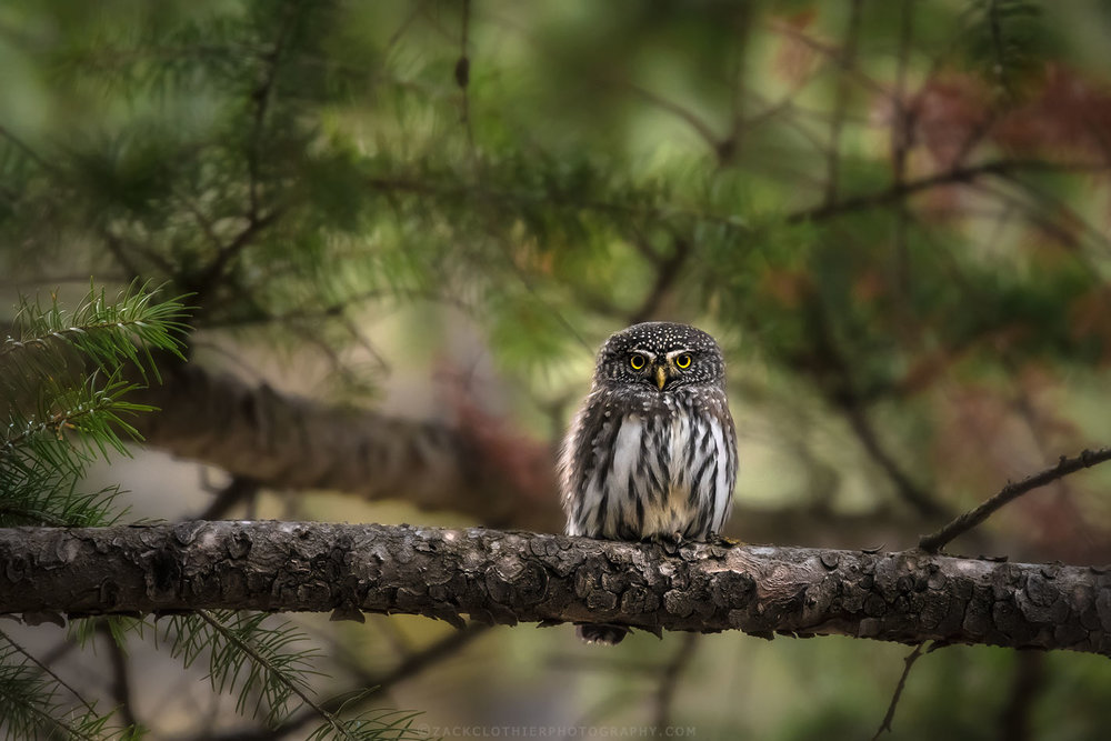 """LITTLE OWL"""