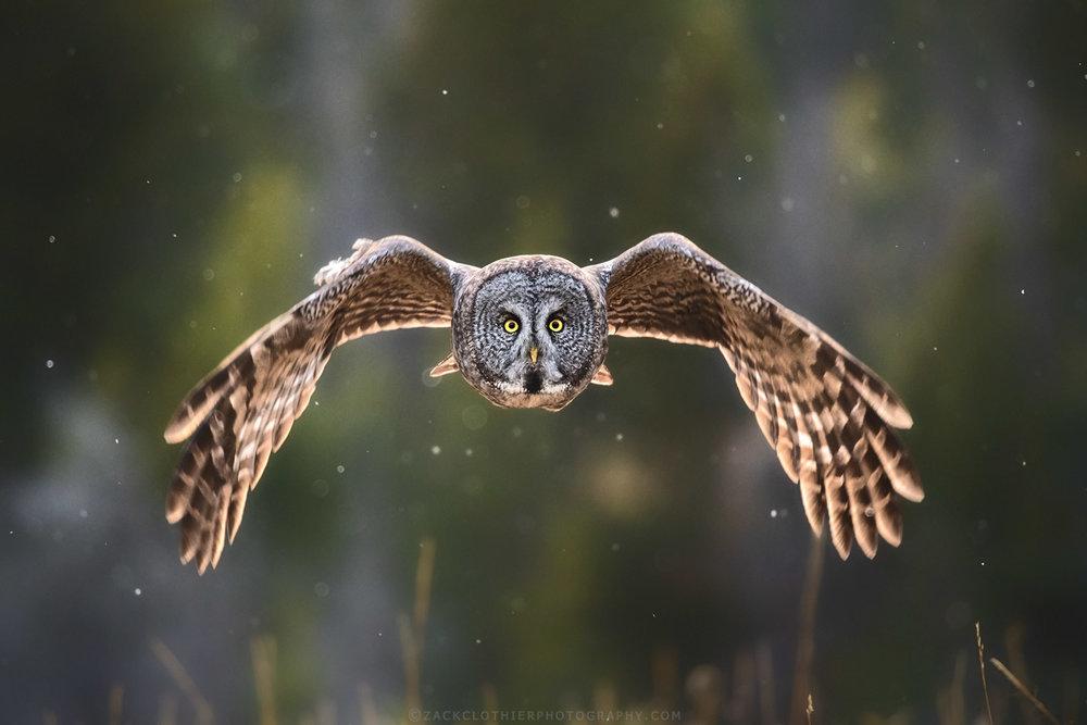 Owls -