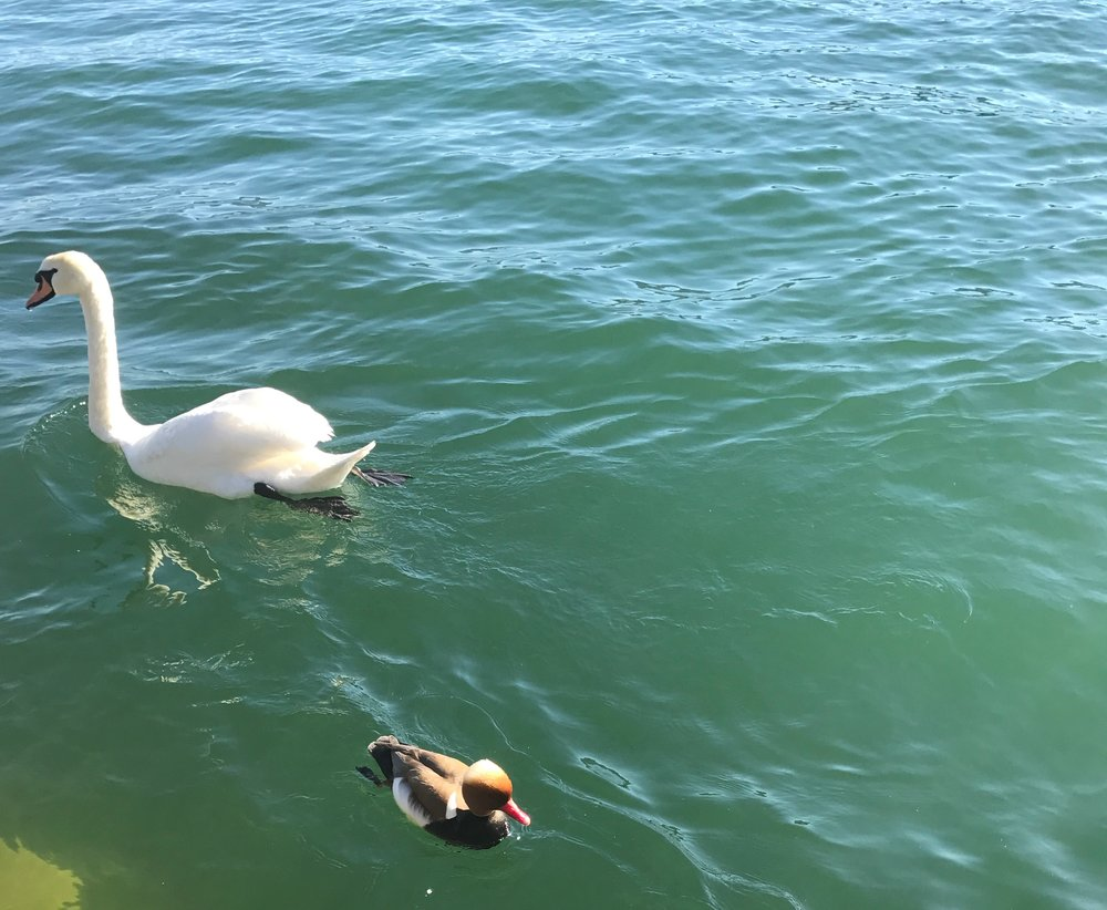 Take a break to watch the swans swim in the lake