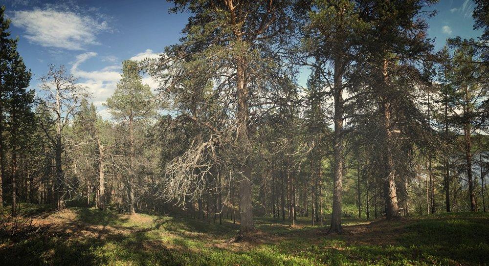 Harvennettua metsää.