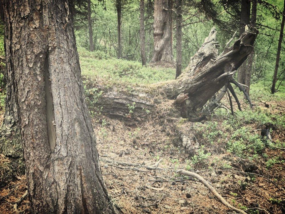 Pilkka laavupaikan puussa.