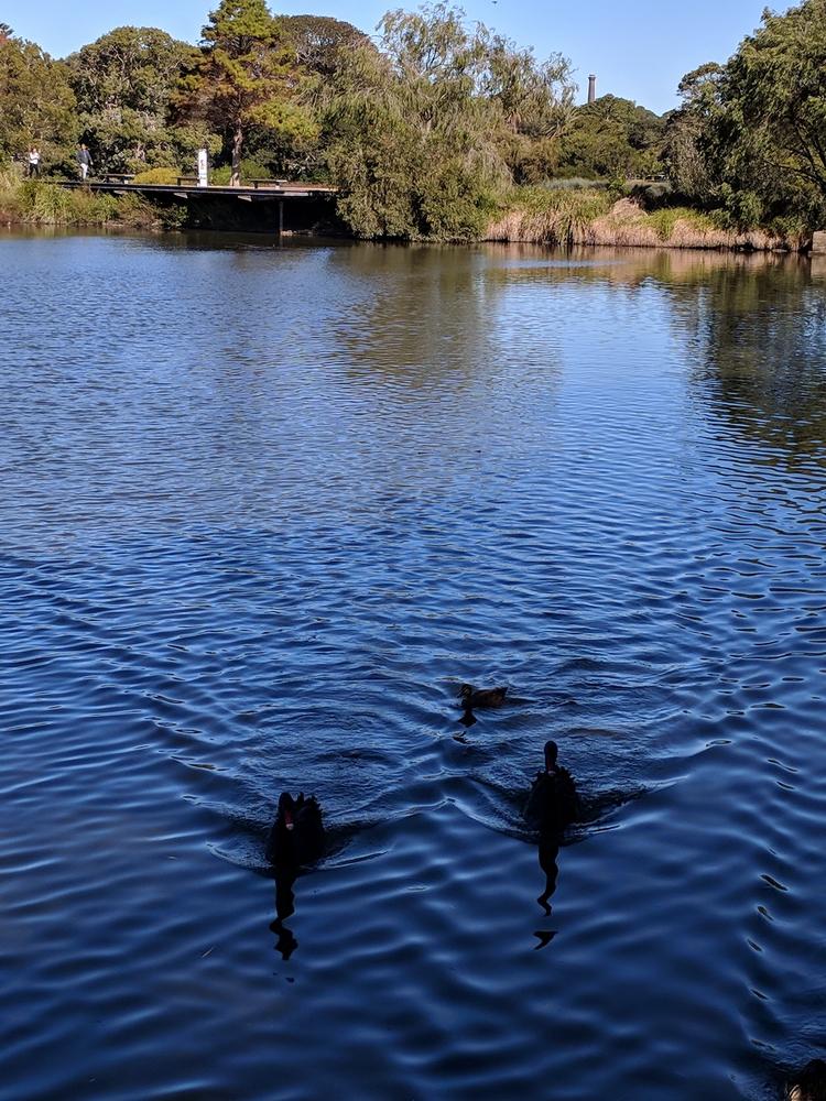 Large ponds, bridges and graceful black swans