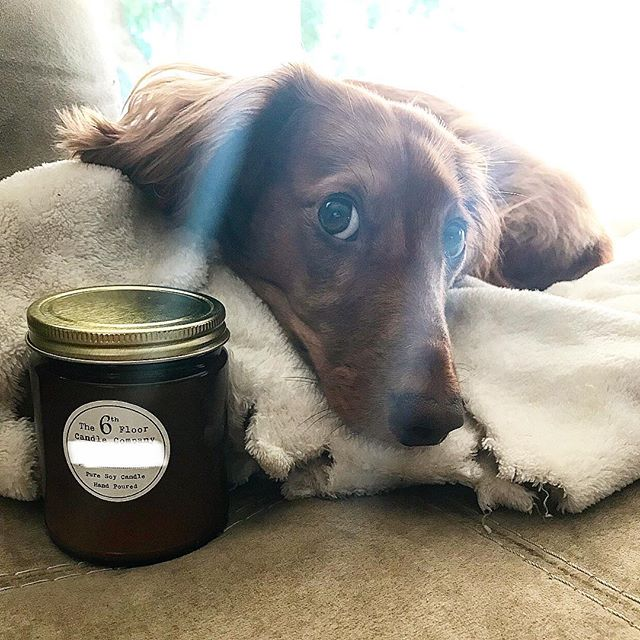 New scent coming this Fall!  Franklin gets to try it out since he's family. He approves and hopefully you will too! 🍂🍁🕯 photo courtesy of @flmengle 📷 . . . . #candlemaker #candlemaking #handpoured #candles #candle #shopsmall #smallbusiness #smallbatch #girlboss #burnthecandles #candlecult #the6thfloorcandlecompany #soywax #soycandle #trimyourwick #dauchshundsofinstagram #dauchshund