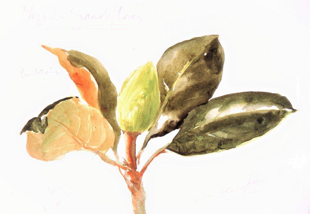 Magnolia grandiflora  1996
