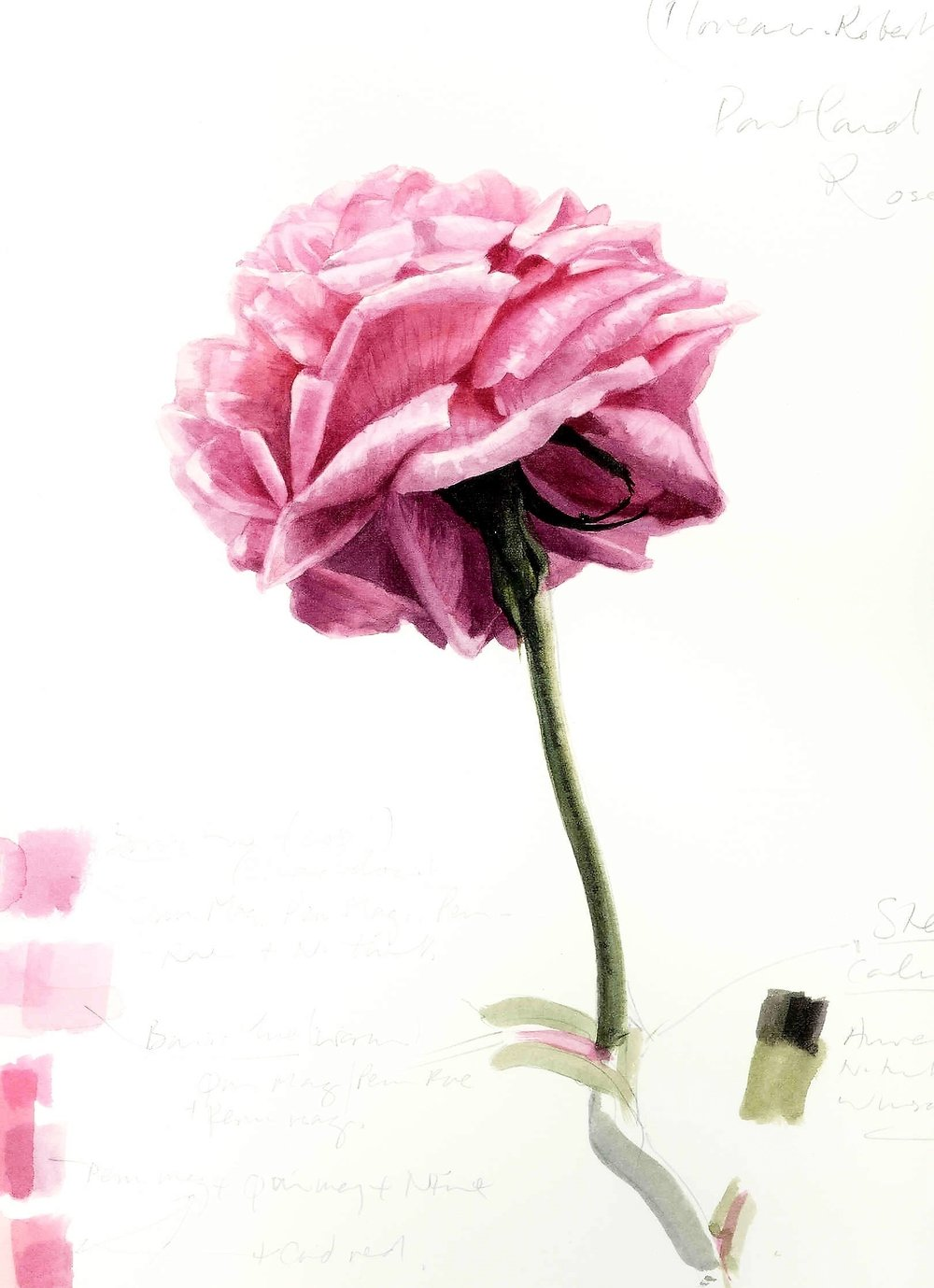 Rosa  'Compte de Chambord' 2002
