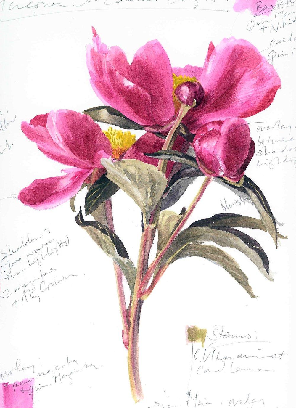 Paeonia lactiflora  'Sir Edward Elgar' 2000