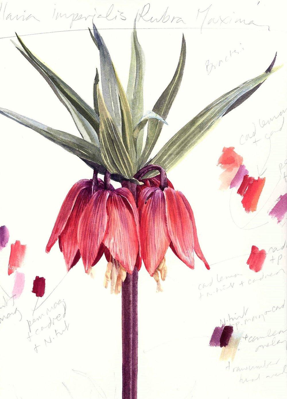 Fritillaria imperalis  'Rubra' 2000