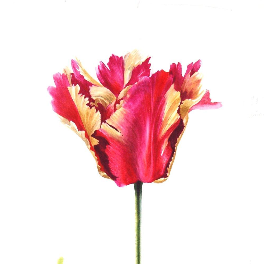Tulipa  'Dootje Hes' 2010