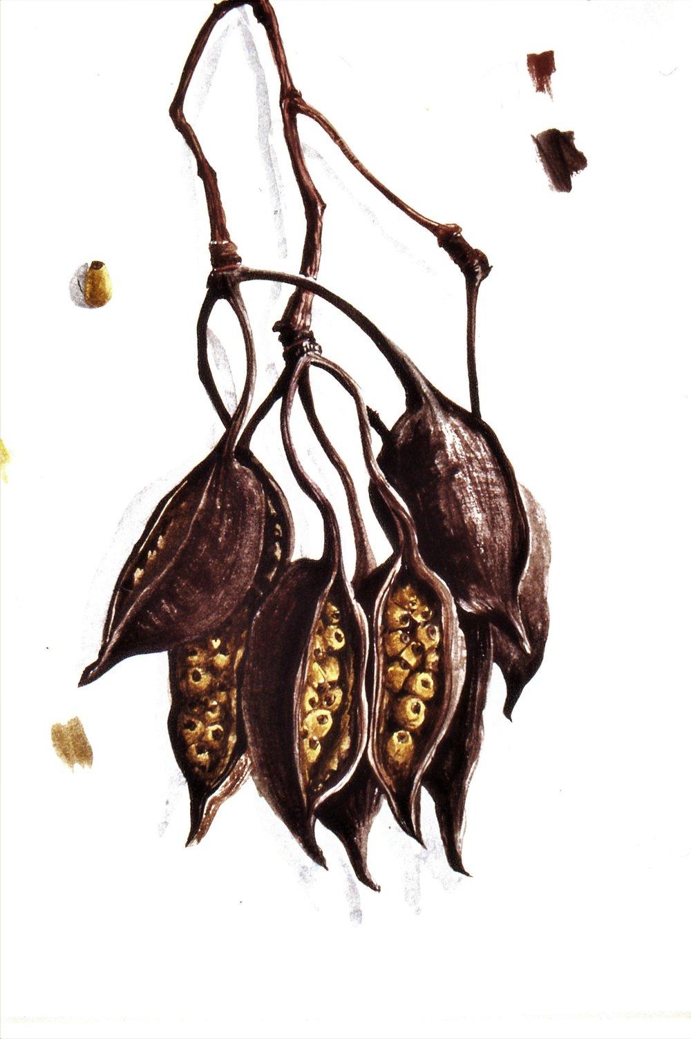 8_Seed Pod _Papua_New_Guinea_1993SirCharlesBurrellCollectionWATERCOLOURSTUDY.jpg