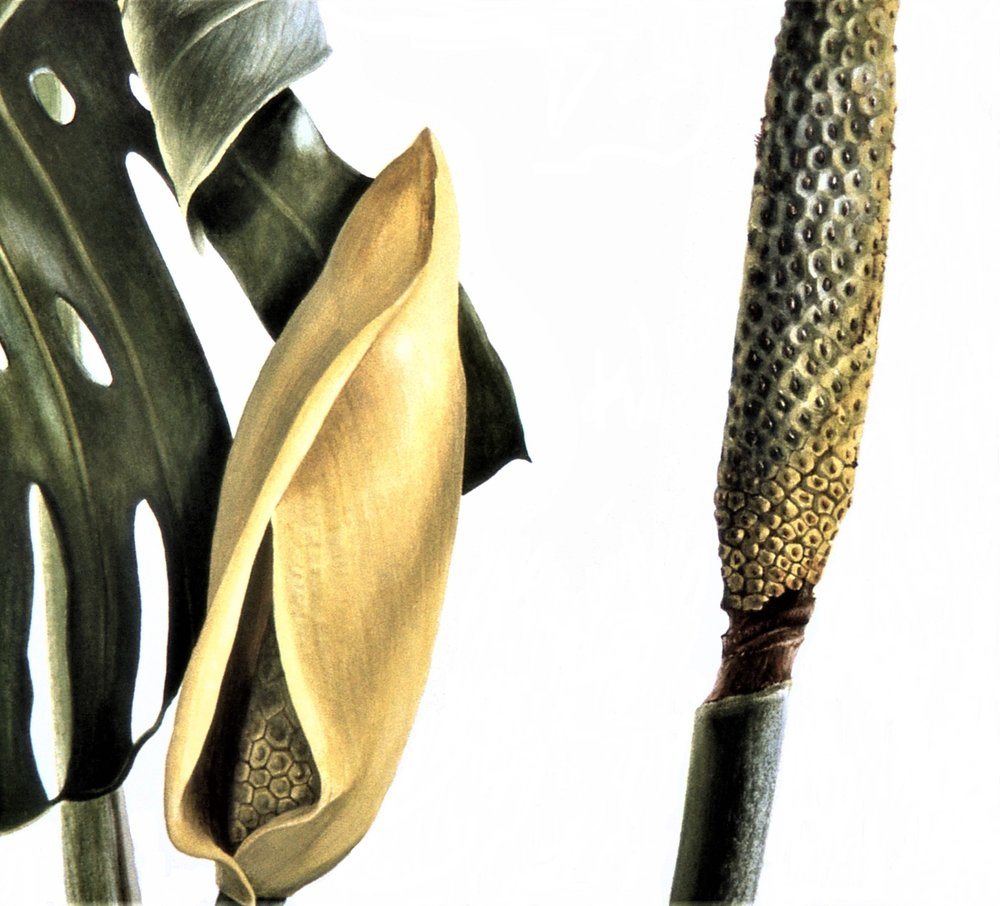 Monstera deliciosa  watercolour on paper    Detail of spathe and fruit 1997  Copyright The Shirley Sherwood Collection