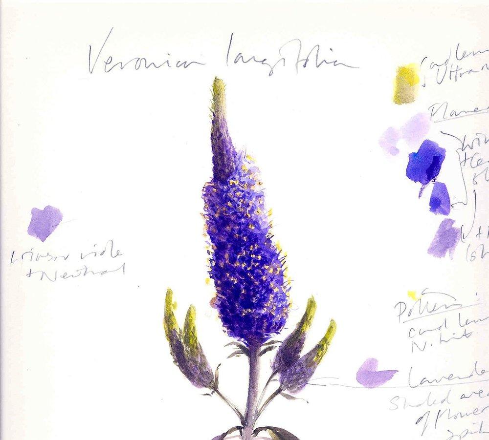 Veronica longifolia. Coral Guest..jpg