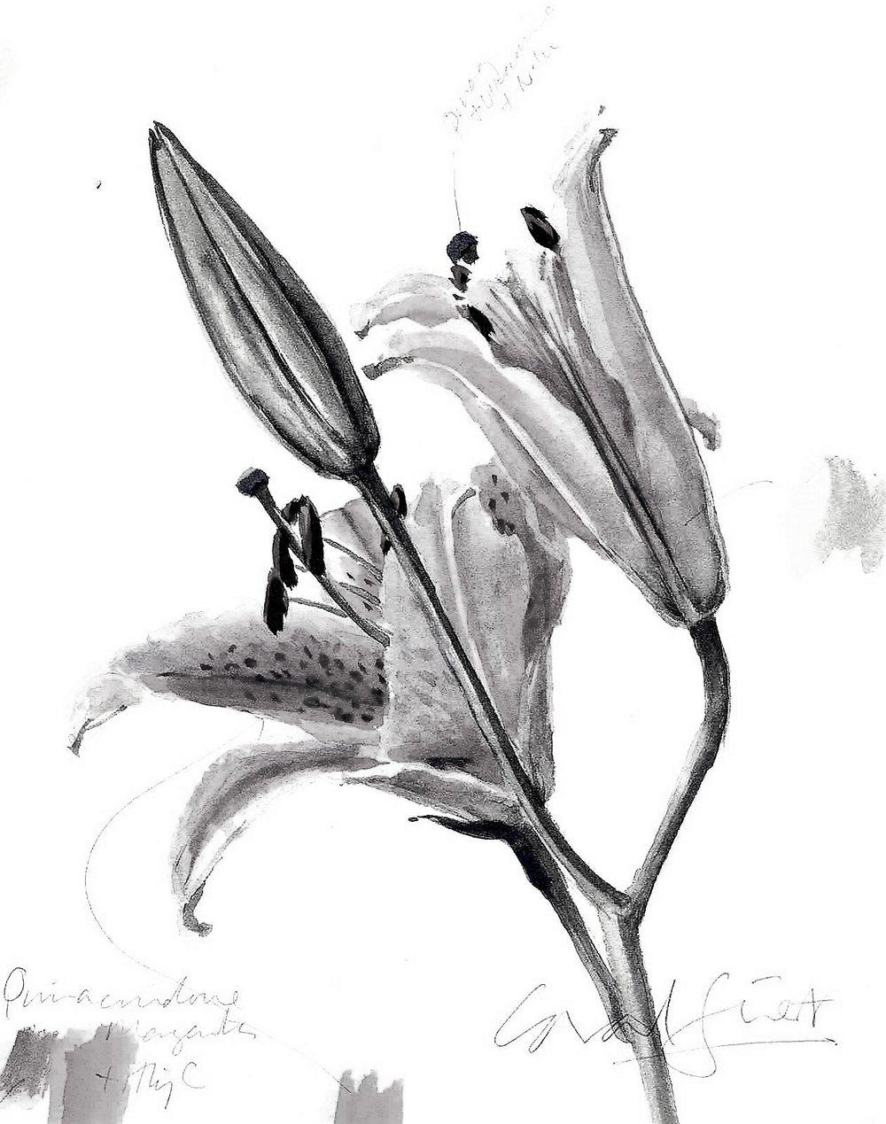 Lily Asiatic hybrid study.jpg
