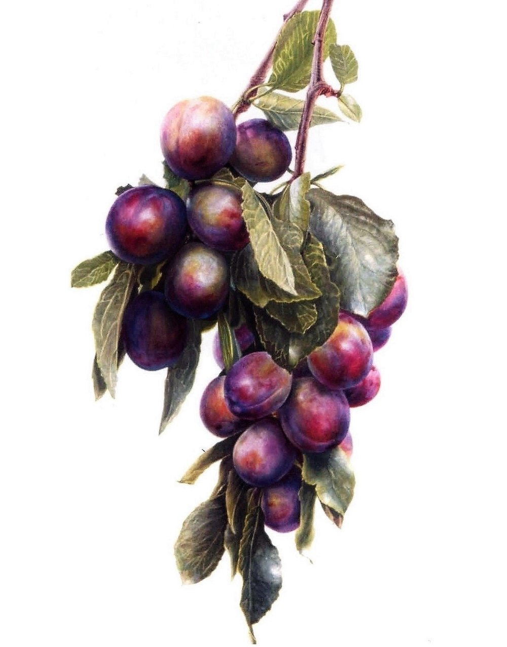 Prunus domestica  'Victoria' Dessert Plum  Watercolour on paper 2005