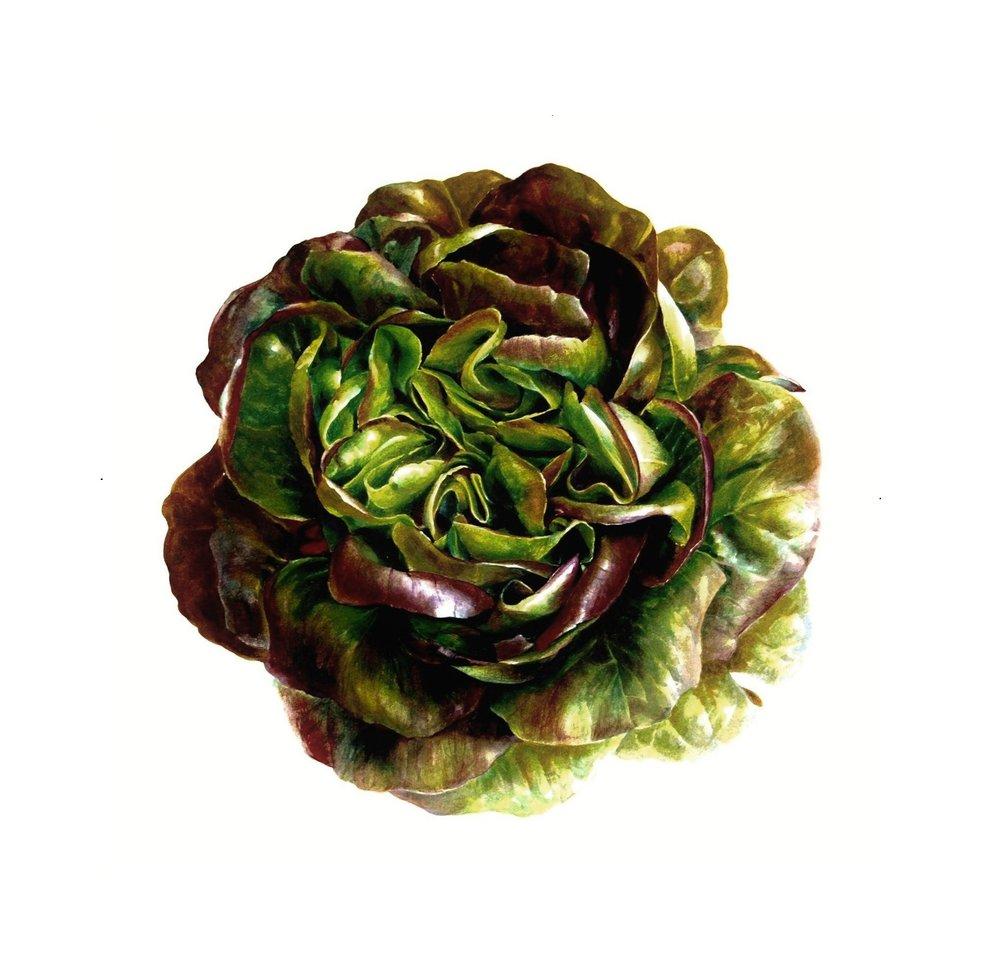 Lactuca sativa  'Salanova' Butterhead Lettuce Watercolour on paper 2012