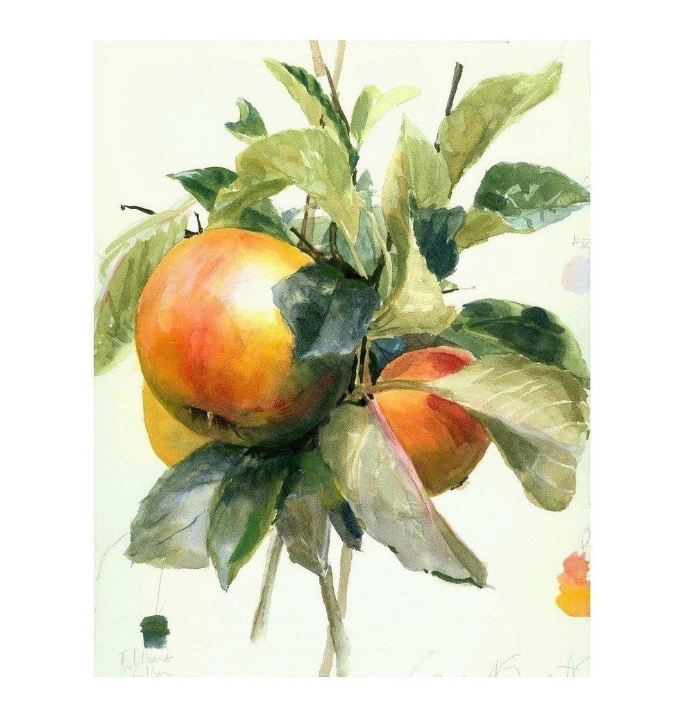 Malus domestica  'Ribston Orange Pippin' Dessert Apple Ripened Fruit, Warm Light Colour Study Watercolour on paper 2008