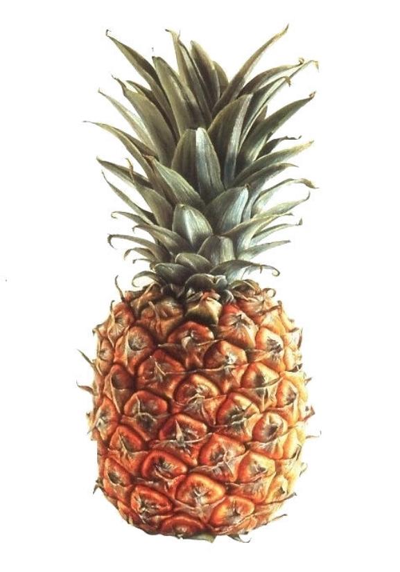 Ananas comosus  Dessert Pineapple Watercolour on paper 2004