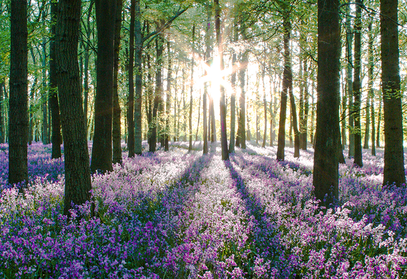 bluebells sunrise_2.jpg