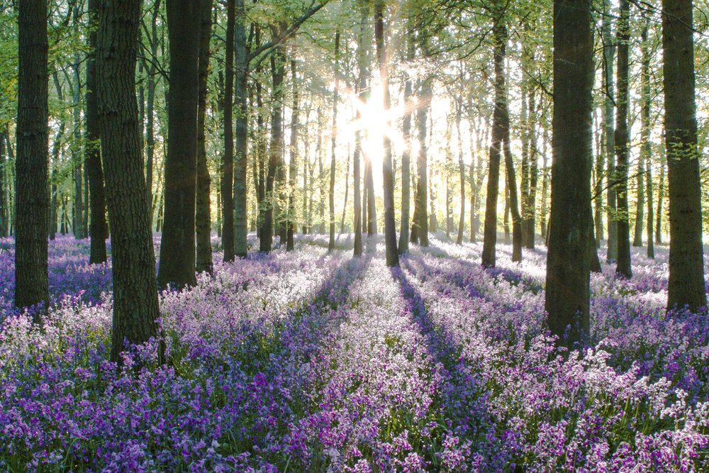 bluebells sunrise.jpg