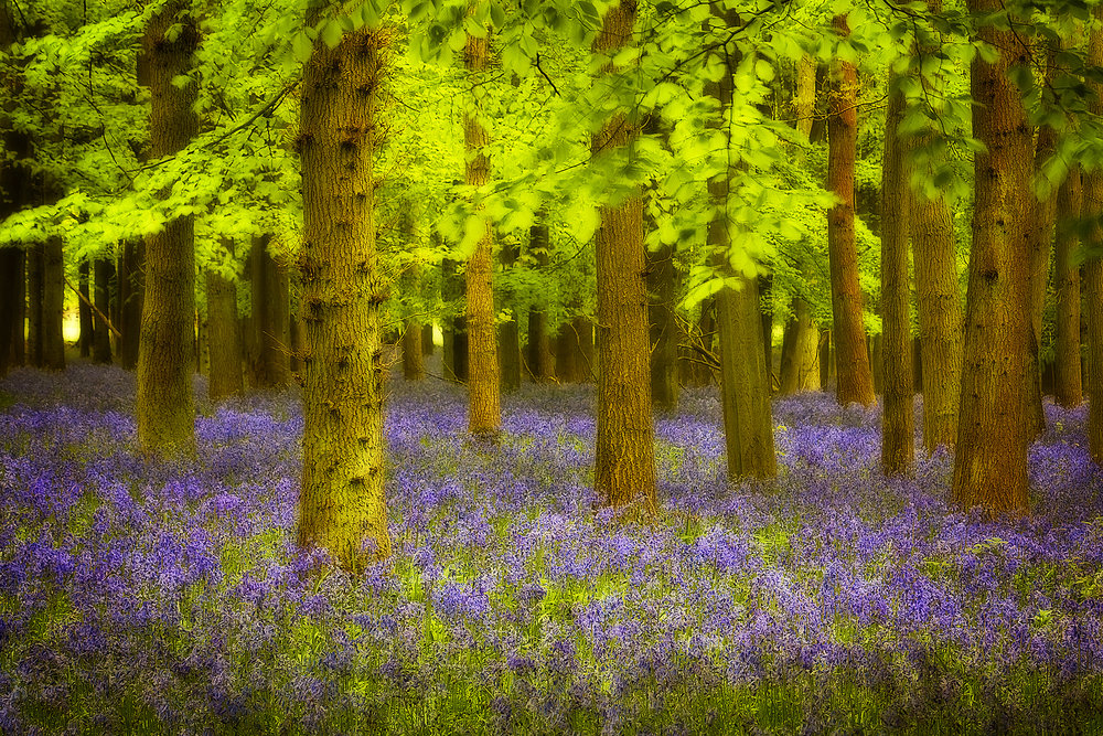 bluebell woods_61.jpg