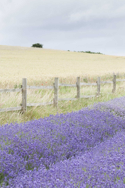 lavender fence.jpg