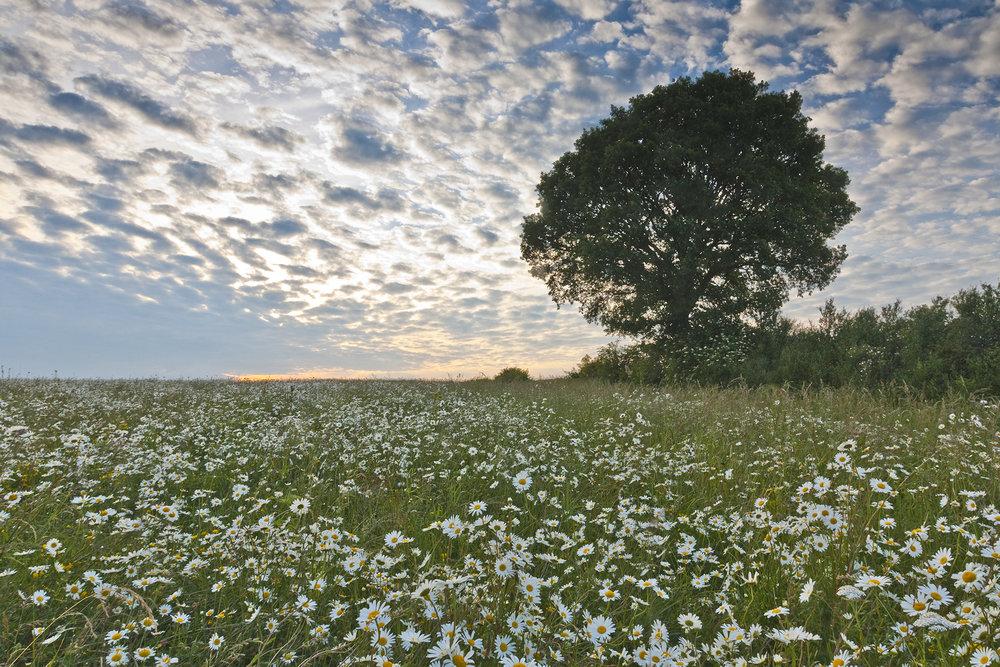daisy field_sunset.jpg
