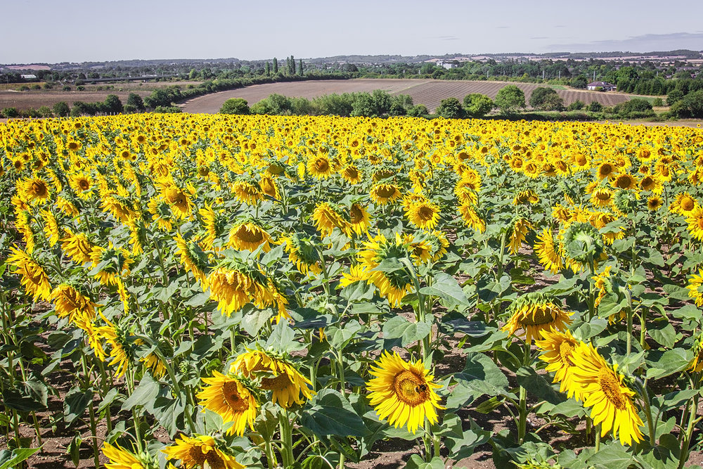 sunflowers_4.jpg