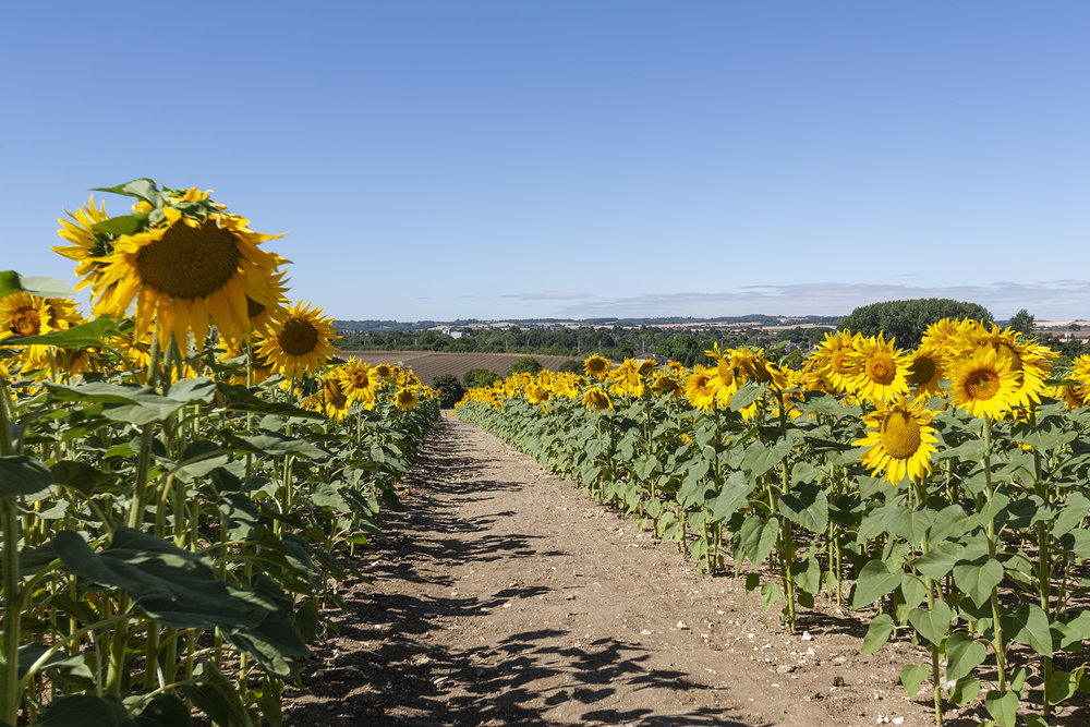 sunflowers_3.jpg