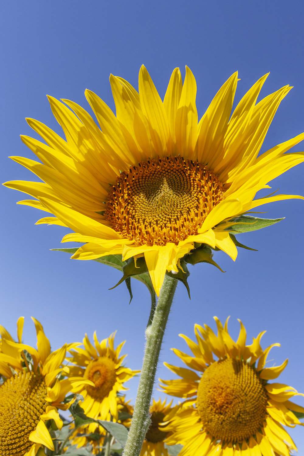 sunflowers_5.jpg