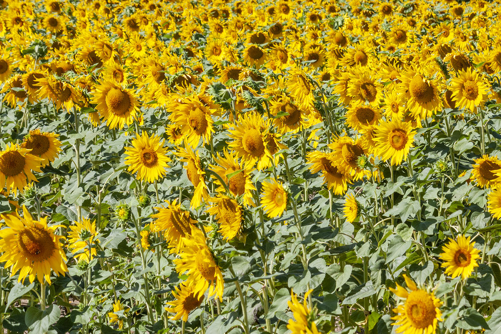 sunflowers_6.jpg