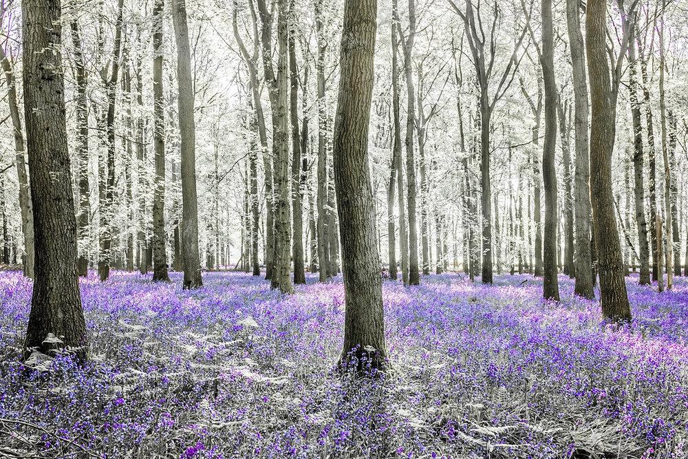 bluebell woods_2018_10.jpg