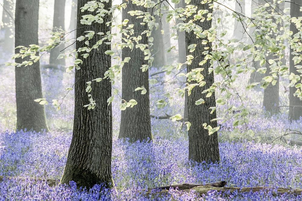 bluebell woods_2018_8.jpg