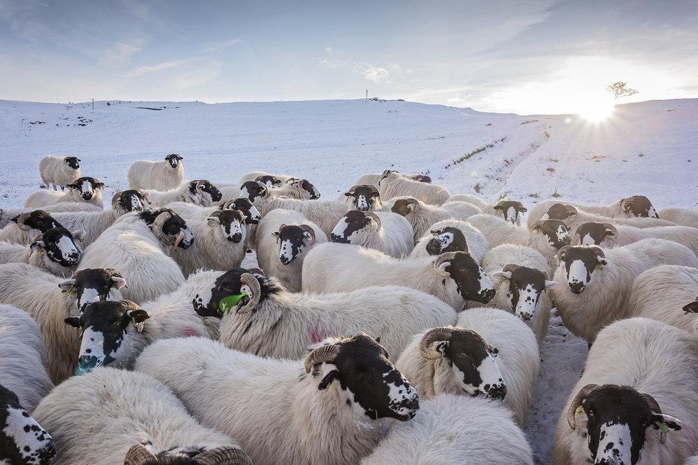 yorkshire dales sheep.jpg