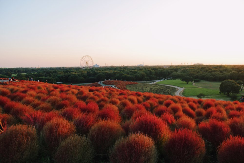 Hitachi Seaside Park by TofyAmr