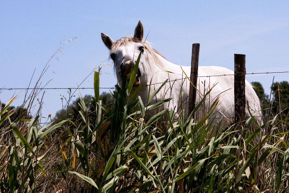 Camargue horse - Southern France