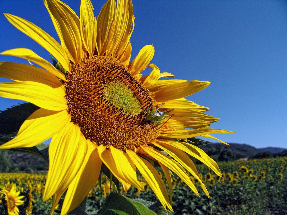 Sunflower fields - Provence, France