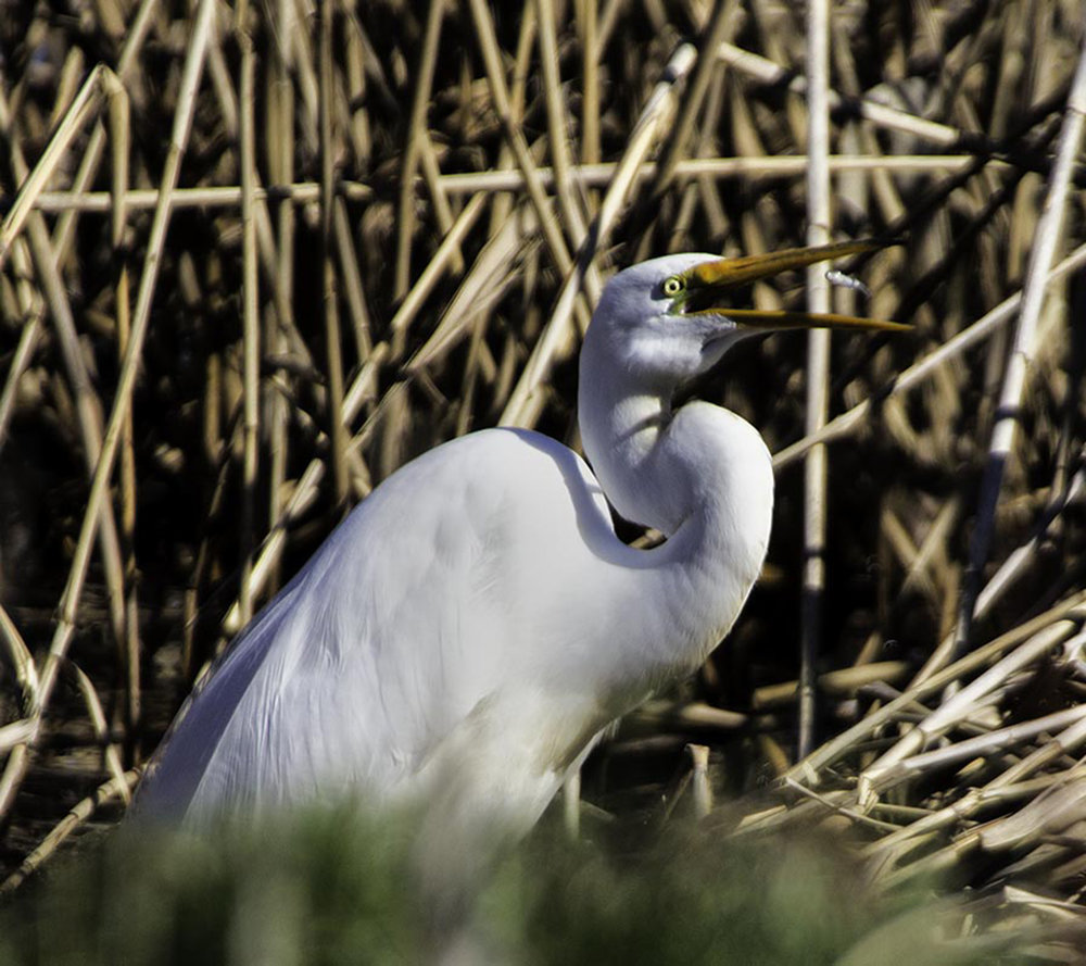 great egret w fish 2_Felege.jpg