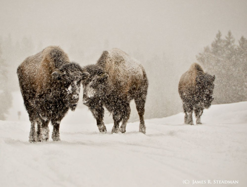 bison-in-the-snow