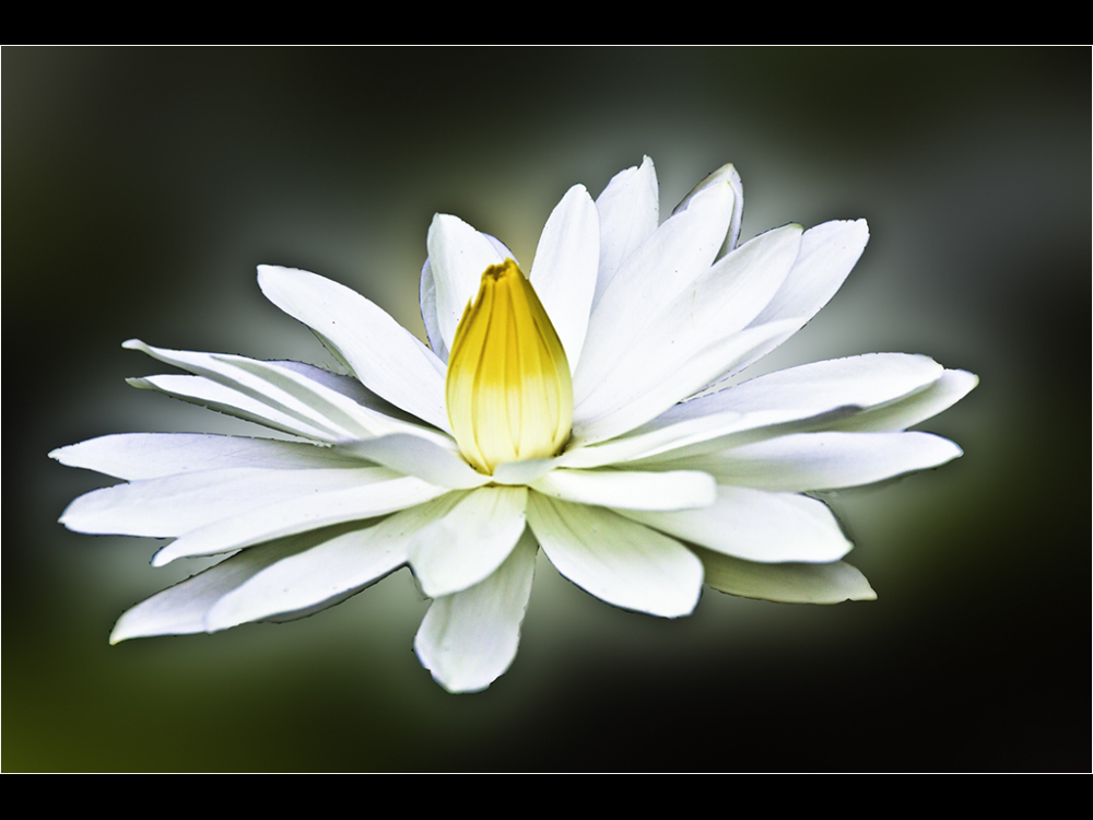 everglade-lily