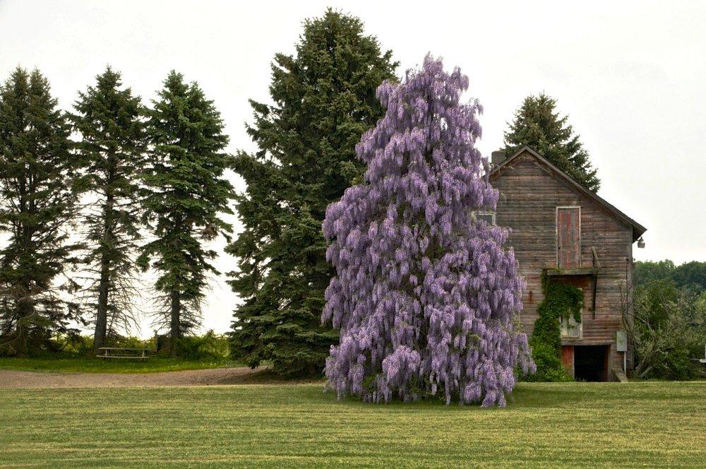 wisteria 2.jpeg