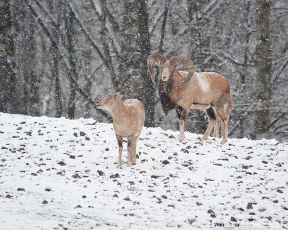 Bighorn Sheep_AMSenita_1095.jpg