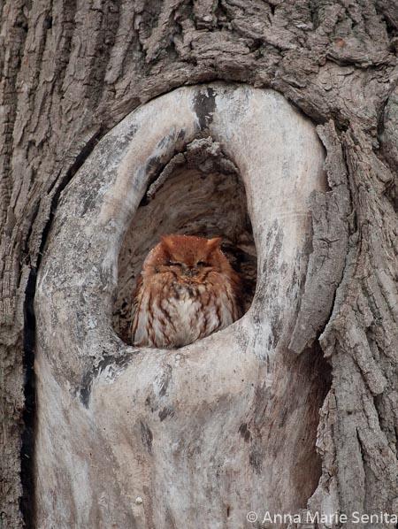 Screech Owl-Rufous_AMSenita_25937.jpg