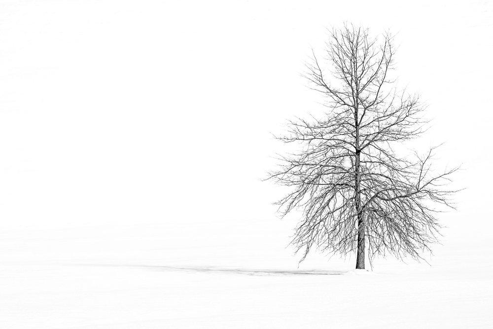 Gilson_Pin Oak in Winter 3720.jpg