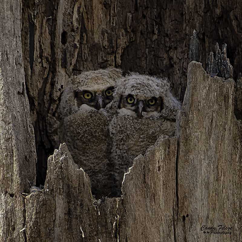 Great Horned Owlets by Candy Felege