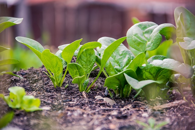 spinach folate contraceptive nutrients