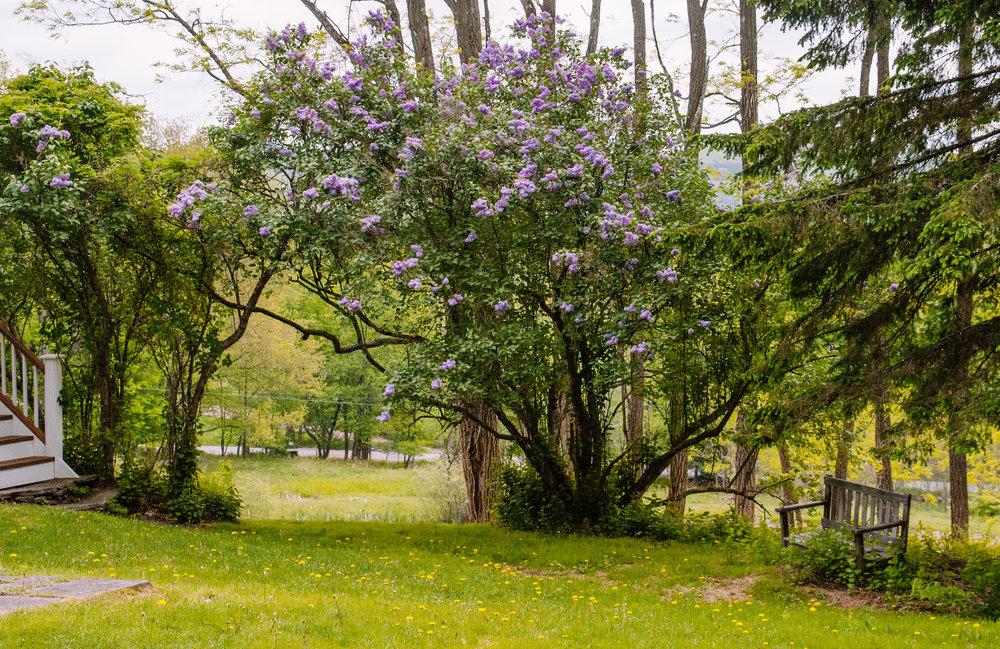 Lilacs Wide.jpg